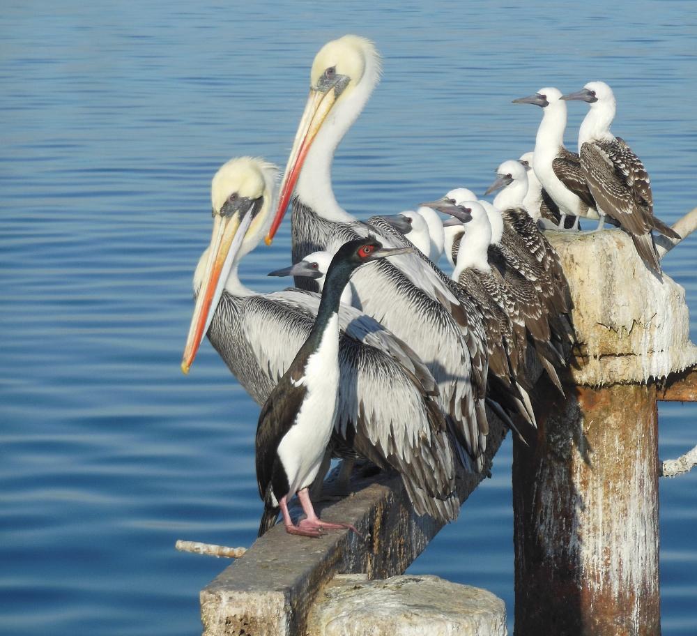 Pelikane in Peru
